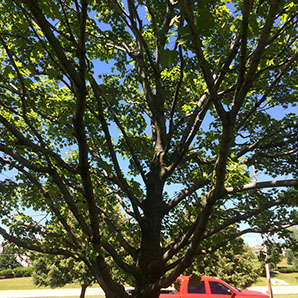 tree thinnig shaping after arbor care solutions
