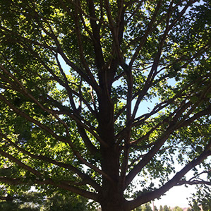 tree thinnig shaping before arbor care solutions